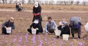 ۷۶۰۰ هکتار زمین در تربت حیدریه زیر کشت زعفران رفته است